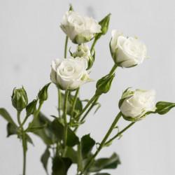Роза кустовая Snowflake