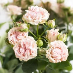 Роза кустовая Sweet Flow