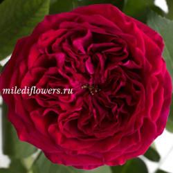 Роза пионовидная David Austin Tess