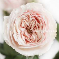 Роза пионовидная Tsumugi