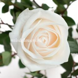 Роза классическая Vendela
