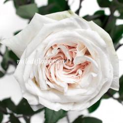 Роза пионовидная White O'Hara
