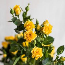 Роза кустовая Yellow Baby