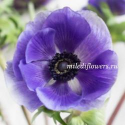 Анемон Mistral Blue
