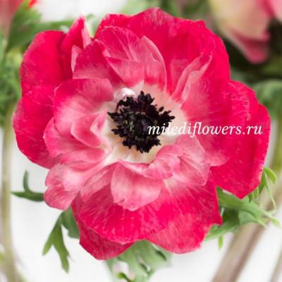Анемон Mistral Pink