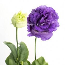 Лизиантус Alissa Blue