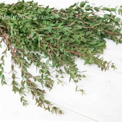 Эвкалипт Parvifolia