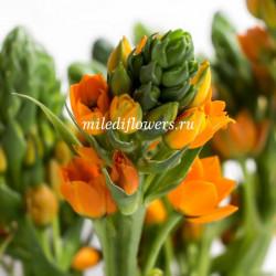 Орнитогалум Orange