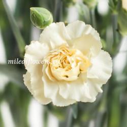 Гвоздика кустовая Cream Intermezzo