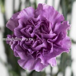 Гвоздика Moonlite Purple