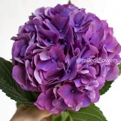 Гортензия Rodeo Purple
