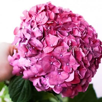 Гортензия Ruby Pink