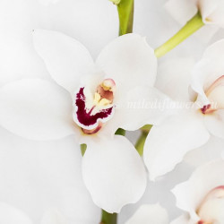 Орхидея Cymbidium White