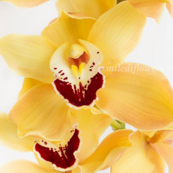 Орхидея Cymbidium Yellow