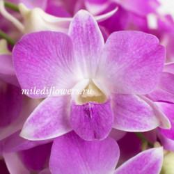Орхидея Dendrobium Cyclamen