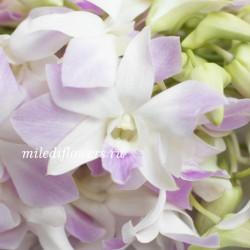 Орхидея Dendrobium Purple