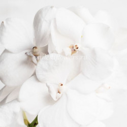 Орхидея Vanda Diamond White