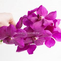 Орхидея Vanda Max Cerise