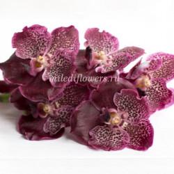 Орхидея Vanda Purple Spot