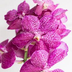 Орхидея Vanda Rosy