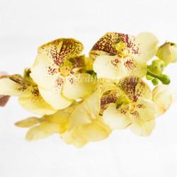 Орхидея Vanda Yellow Henna