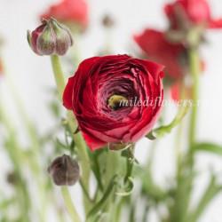 Ранункулюс Elegance Red