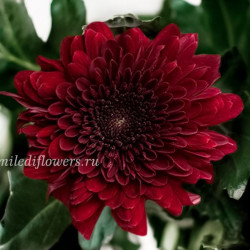 Хризантема Barca Red