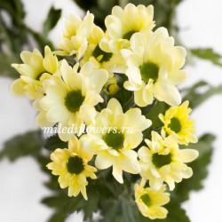 Хризантема Chic Cream