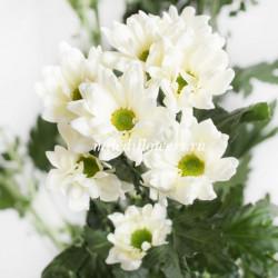 Хризантема Prosecco