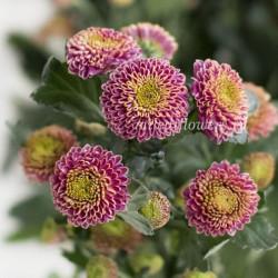 Хризантема Santini Doria Pink