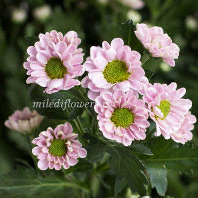 Хризантема Santini Rossi Pink