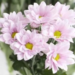 Хризантема Softone