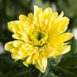 Хризантема Zembla Yellow