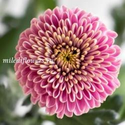 Хризантема Zodiac Lilac